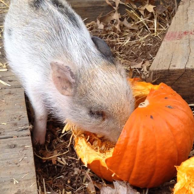 #happypig #cloverthepig #countrylife