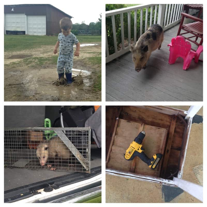 A toddler in a puddle, a pig on the porch, an opossum in my trunk, and a table to repair.